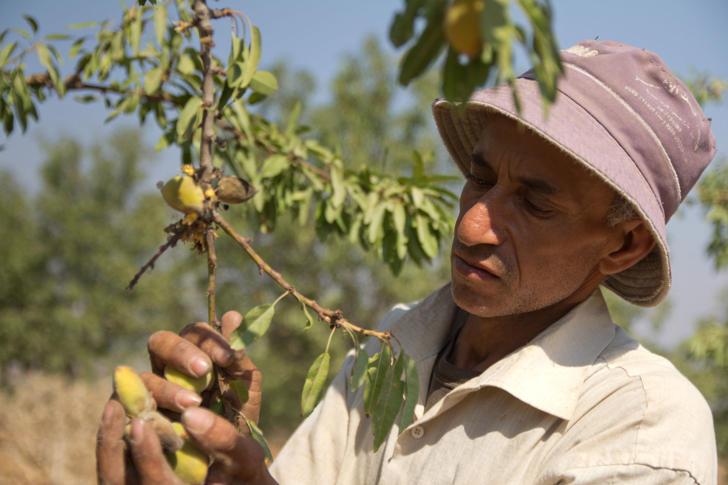 Canaan: Almond Harvest